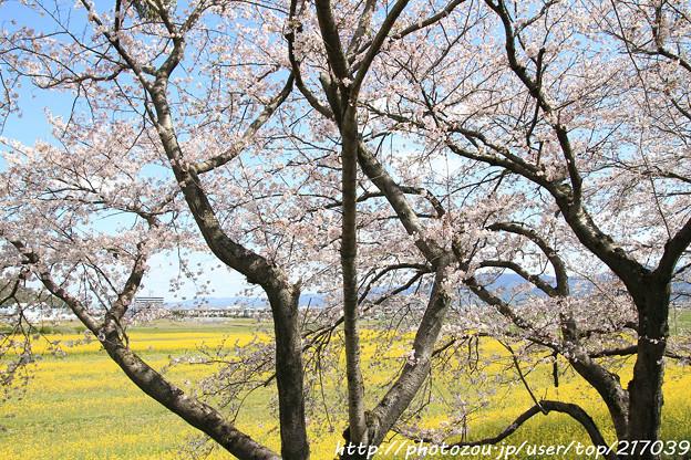 IMG_8896藤原宮跡・春ゾーン・染井吉野