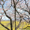 Photos: IMG_8896藤原宮跡・春ゾーン・染井吉野
