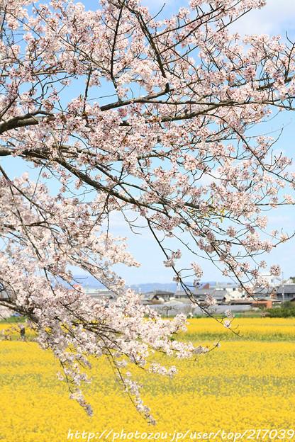 IMG_8900藤原宮跡・春ゾーン・染井吉野と菜の花