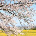 Photos: IMG_8900藤原宮跡・春ゾーン・染井吉野と菜の花