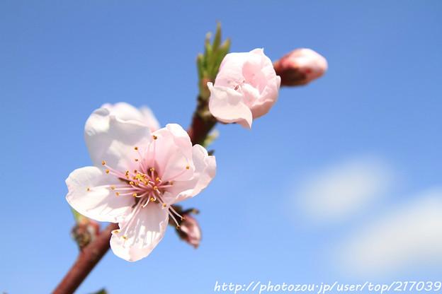 IMG_8913藤原宮跡・春ゾーン・染井吉野