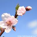 Photos: IMG_8913藤原宮跡・春ゾーン・染井吉野