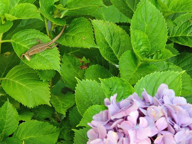 カナヘビと紫陽花
