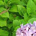 写真: カナヘビと紫陽花