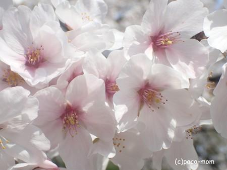 桜 P3272014