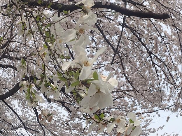 コブシと桜 P3272076