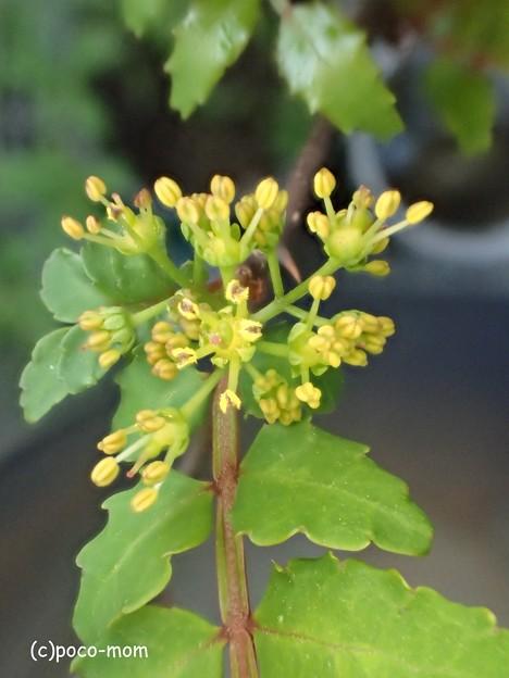 山椒の花 P4022192