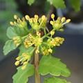 写真: 山椒の花 P4022192