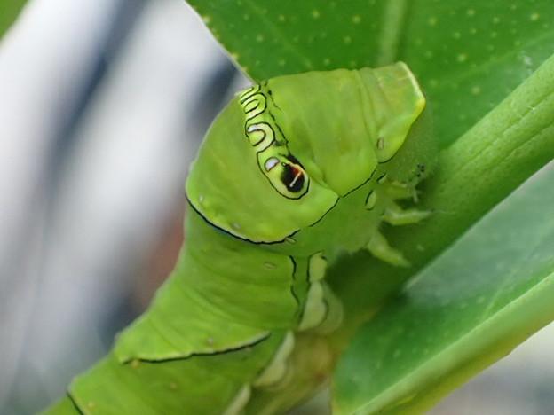 ナミアゲハの終齢幼虫 P9010938
