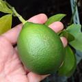 鉢植えのレモン P9010942