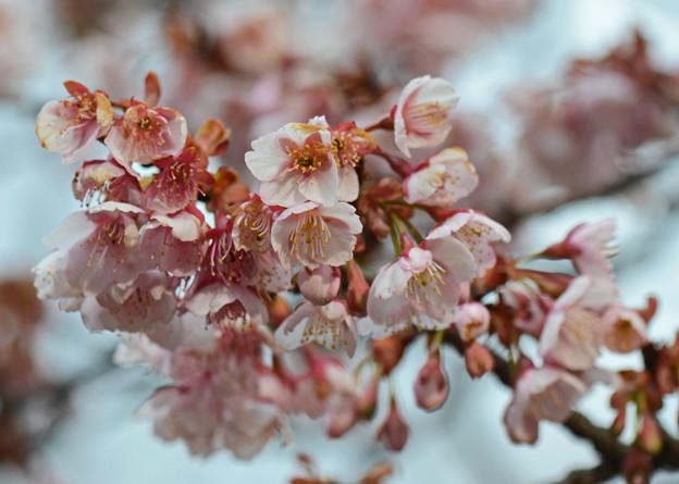 写真: 寒桜 1