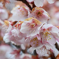 写真: 寒桜 2