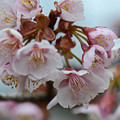 写真: 寒桜 3