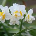 写真: 八重咲き水仙
