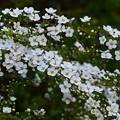 五弁の真っ白な小花が咲き誇る