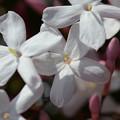 写真: 清楚な花