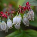 写真: ブルーベリーの花