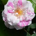 写真: 薔薇1