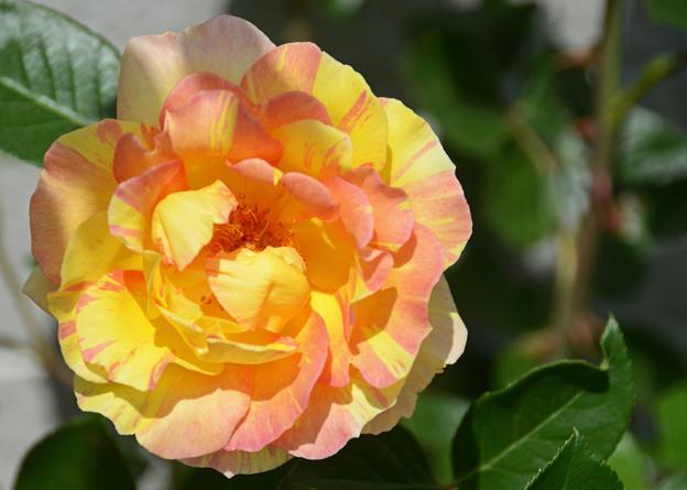 写真: 薔薇2