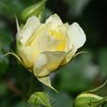 写真: 薔薇3