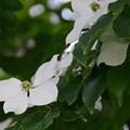 写真: 山法師の花