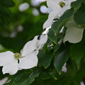 Photos: 山法師の花