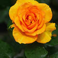 写真: 黄色バラ