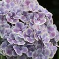 写真: 紫陽花毬となる