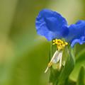 鮮やかな青い花
