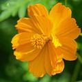 写真: キバナコスモス1