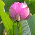 写真: 蓮の花1