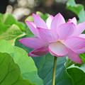 写真: 蓮の花2