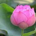写真: 蓮の花3