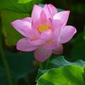 写真: 蓮開花1