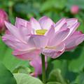 写真: 蓮開花2