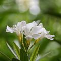 白い夾竹桃2