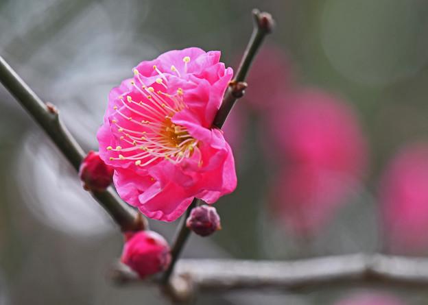 若々しい紅色の梅花