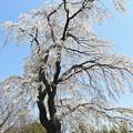 Photos: 糸桜1