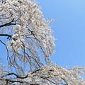Photos: 糸桜2