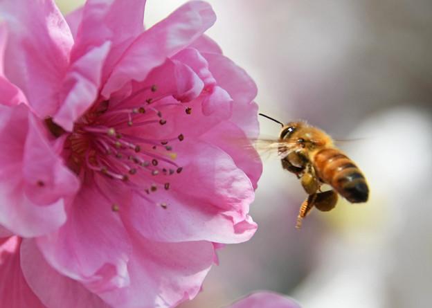 蜜と花粉を集めて1
