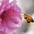 Photos: 蜜と花粉を集めて1