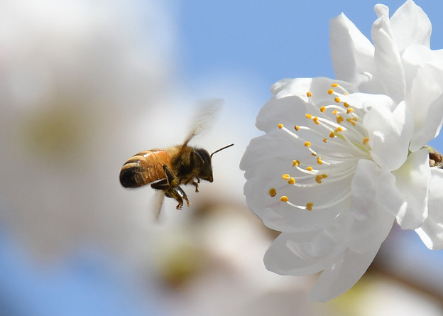 Photos: 蜜と花粉を集めて2