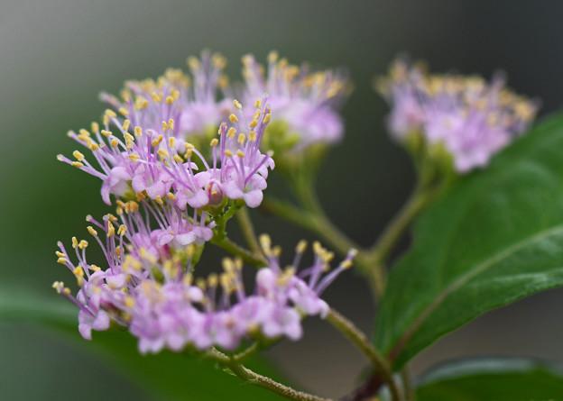コムラサキの花