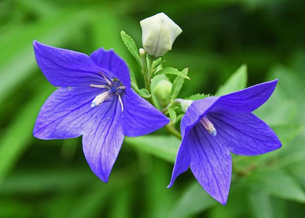 紫碧色の可憐な花
