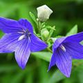 Photos: 紫碧色の可憐な花