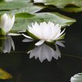 温帯性睡蓮
