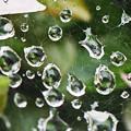 Photos: 煌めく雨滴