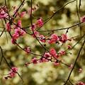 Photos: 梅も棘に咲き乱れ