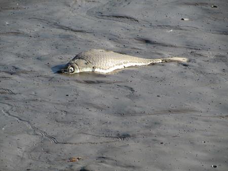 水抜きのよって死んだ魚。