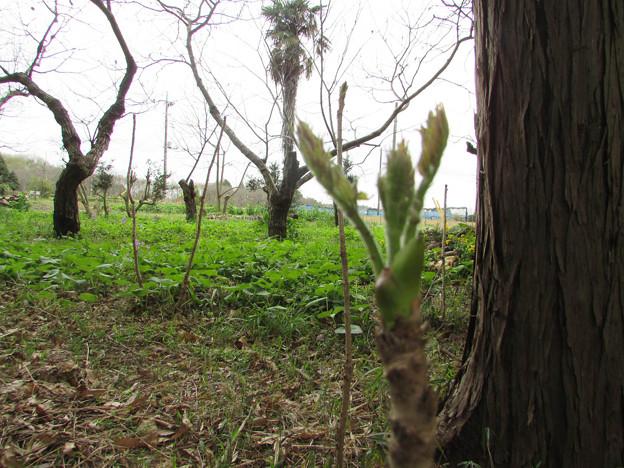 写真: タラの芽-20160409 (1)